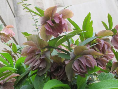 doublefloweringlentenroseusbg
